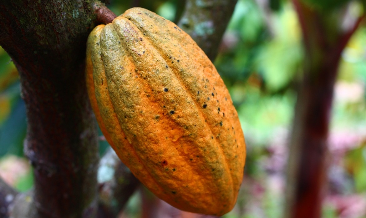 Cocoa Butter Health Benefits are endless