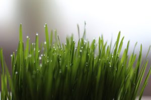 Wheatgrass juice contains as much Vitamin C as citrus and other fruits and more than ordinary vegetables